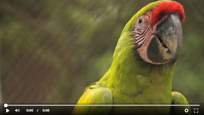 ara-project-salva-guacamayos-verde-vid